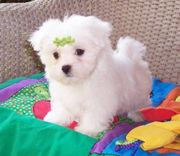 MALTESE  PUPPS FOR SALE ASIA PETS  @  9911293906 @@