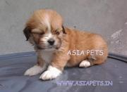 OFFERING  LHASA APSO PUPPS FOR SALE ASIA PETS  @  9911293906