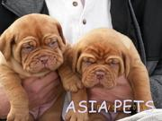 OFFERING   FRENCH MUSTIFF  PUPPS FOR SALE ASIA PETS  @  9911293906