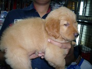 GOLDEN RETRIEVER PUPPIES @ CAPITALKENNEL..
