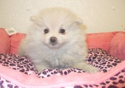 POMERANIAN  PUPPIES FOR SALE  @ ANSHUKENNEL
