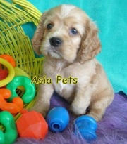 Cocker Spaniel PUPPIES FOR SALE In Bihar